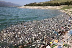 40 tấn cá chết dạt vào hồ Qaraoun