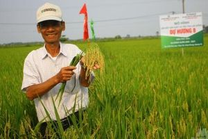 Nông dân 'miền đất lửa' mê tít các giống lúa của Vinaseed Group