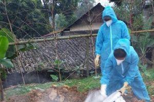 Tiêu hủy 375 con lợn nhiễm dịch tả lợn Châu Phi