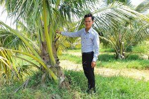 Dừa xiêm xanh bén duyên Sơn Mỹ