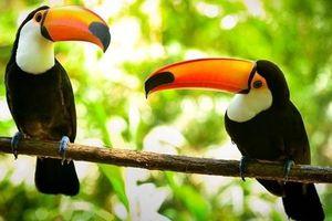 Chim Toucan được ghép đôi vợ chồng, 8 năm không có con và sự thật phũ phàng