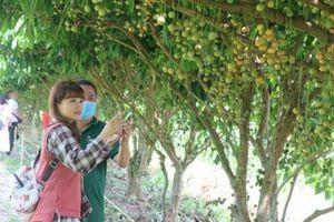 Du khách mê mẩn lạc bước trong vườn dâu trĩu quả ở Cà Mau