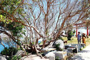 Xác lập kỷ lục Bách Niên Cổ Mộc cho cây kơ nia tại chùa Thiên Ân