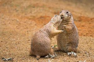 Loài cầy có thói quen 'ôm hôn thắm thiết' giống hệt con người