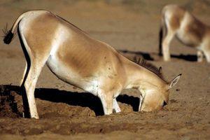 Xem lừa đào 'giếng' lấy nước uống trên sa mạc