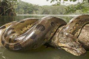 Trăn khổng lồ Amazon đau đớn tuyệt vọng giữa vòng vây của báo đen và báo đốm