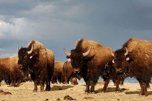 Mỹ: Đang tuyển chọn tình nguyện viên để bắn hạ hàng trăm con bò rừng ở hẻm núi Grand