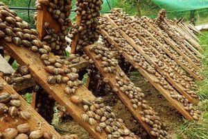 Kỹ thuật nuôi và thu hoạch ốc quy mô lớn ở Ukraine