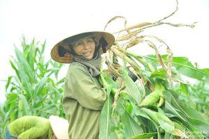 Kệ ngày nghỉ lễ, nông dân Nghệ An ra đồng cắt 'ngô non' bán cho thu nhập khá!