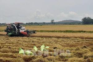 Nông dân được mùa lúa Đông Xuân
