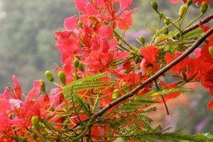 Hà Nội rực rỡ trong sắc hoa phượng đỏ tháng 5