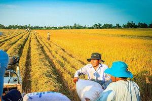 Giá lúa gạo hôm nay 3/5: Giao dịch chậm, giá lúa gạo ổn định