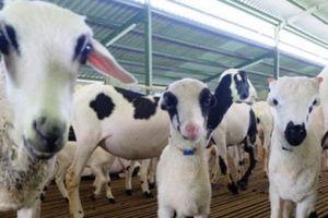 Nhu cầu tăng mạnh, Indonesia mở rộng đàn cừu và dê