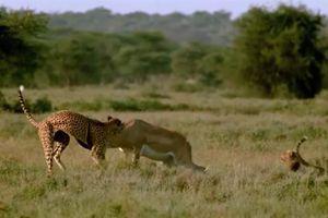 Báo săn hợp sức thịt linh dương lớn: Kết sốc