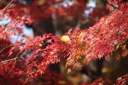 Chiêm ngưỡng mùa thu đỏ đẹp đến ngỡ ngàng tại Nhật Bản