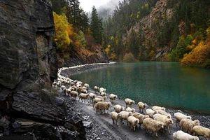 Hành trình lùa cừu kỳ thú giữa mùa thu từ vùng núi bắc Kavkaz