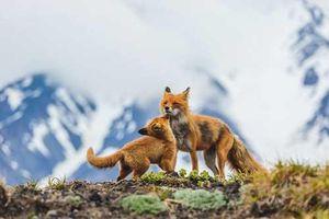 Hình ảnh đáng yêu của những con cáo hoang dã nước Nga