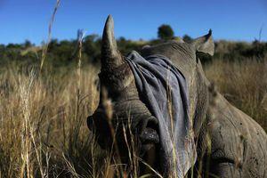 Nạn săn trộm tê giác tăng trở lại tại Nam Phi