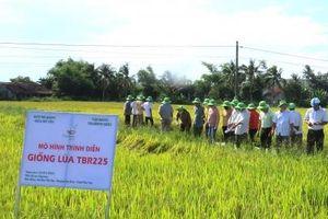 Cánh đồng mẫu sản xuất lúa chất lượng đạt năng suất 90 tạ/ha