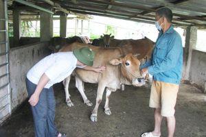 Xuất hiện bệnh viêm da nổi cục trên trâu, bò ở Lai Châu