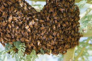 Kinh hoàng bầy ong đáng sợ giết chết người đàn ông đang làm vườn