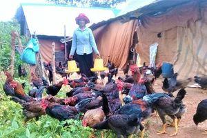 Thoát nghèo nhờ 50 con gà chọi