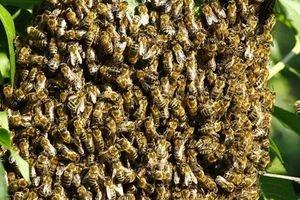 Gây tiếng ồn chọc giận ong, người đàn ông trả giá bằng cả tính mạng