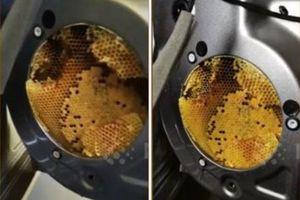 Chủ xe choáng khi phát hiện ong làm tổ trong ô tô của mình