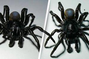 Phát hiện loài nhện khủng có nọc độc sống thọ hàng chục năm