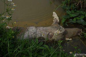 Hàng loạt lợn chết vứt dưới mương nước ở huyện lúa Yên Thành