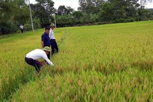 Tập trung phòng trừ sâu bệnh hại lúa giai đoạn cuối vụ