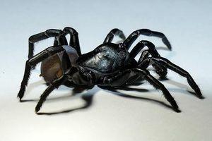 Loài nhện bí ẩn được tìm thấy ở Florida được xác định là loài mới