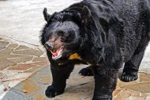 Dắt chó đi dạo, người phụ nữ bị gấu đen tấn công đến chết