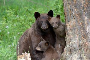 Rùng mình phát hiện thi thể người trong dạ dày hai con gấu