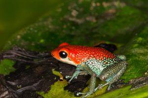 Vẻ đẹp chết chóc của các loài ếch phi tiêu độc nhất thế giới