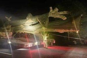 Xử phạt xe đầu kéo chở cây 'khủng' trên Quốc lộ 1A