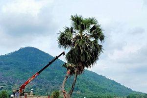 Huyền thoại thốt nốt tình yêu ở Tây Ninh được hồi sinh