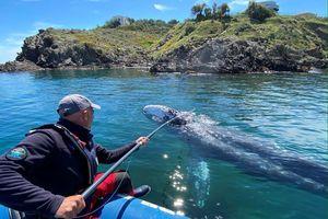 Lạc vào Địa Trung Hải, cá voi xám sụt ký vì không có thức ăn