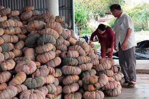 Không người mua, người trồng bí ở Hòa Hội gặp khó