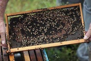 Ong được huấn luyện để phát hiện Covid-19 trong vòng vài giây