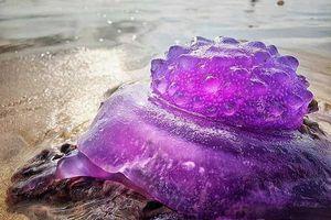 Bắt gặp sinh vật 'ngoài hành tinh' màu tím ngắt trên bãi biển