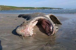 Bí ẩn chưa có lời giải về xác cá mập dài hơn 7m dạt vào bờ biển
