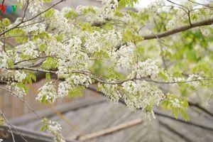Hà Nội mỏng manh những cánh hoa sưa đầu mùa