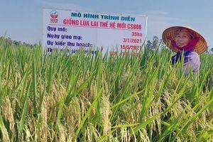Giống lúa lai CS 866 được chọn xây dựng cánh đồng lớn