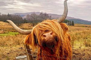 Tận ngắm loài bò lạ, có bộ tóc 'lãng tử' độc nhất thế giới