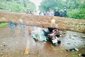 Đắk Nông: Cây cổ thụ gãy đổ khiến 2 người thương vong