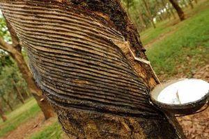 Giá cao su hôm nay 10/5: Cao su là điểm sáng nhất trong bức tranh xuất khẩu nông, lâm, thủy sản Việt Nam