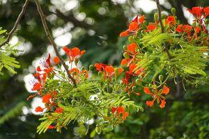 Tháng Năm, bâng khuâng mùa phượng đỏ