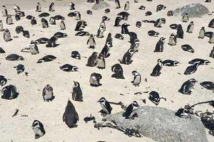 Vẻ đáng yêu của những chú chim cánh cụt Nam Phi
