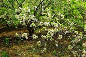 Đẹp nao lòng hoa mận nở trắng núi rừng Tây Bắc